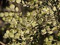 Capparis rotundifolia (6781239885).jpg