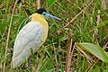 Capped Heron (Pilherodius pileatus) (27914871226).jpg
