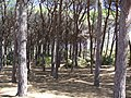 Caprera - nice forest - panoramio.jpg