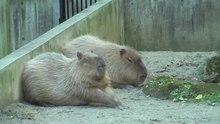 File:Capybara Ueno Zoo 2009.ogv