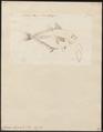 Caranx hippos - 1700-1880 - Print - Iconographia Zoologica - Special Collections University of Amsterdam - UBA01 IZ13500391.tif