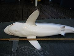 A shark lying on its side with its white belly towards the viewer; it has long pectoral fins with dark tips