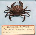 Carcinus aestuarii (Carcinus mediterraneus) - Museo Civico di Storia Naturale Giacomo Doria - Genoa, Italy - DSC03227.JPG