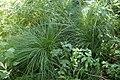 Carex cespitosa kz01.jpg