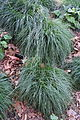Carex divulsa - Leaning Pine Arboretum - DSC05828.JPG