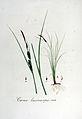 Carex lasiocarpa — Flora Batava — Volume v6.jpg