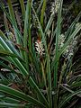 Carex morrowii 2016-04-03 6868.JPG