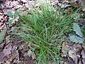 Carex ovalis plant (01).jpg
