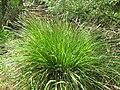 Carex paniculata plant 02).jpg