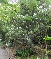 Carpenteria californica 2 2011.JPG