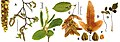 Carpinus betulus all.jpg