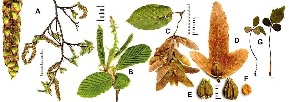 Carpinus betulus all