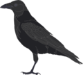 Carrion crow.png