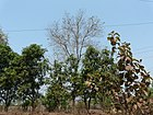 Cashmere tree (3440369261).jpg