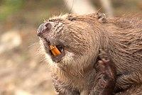 La mâchoire et la denture du castor sont parfaitement adaptées à la fois à l'écorçage et à la coupe du bois. C'est unique dans le monde des mammifères.