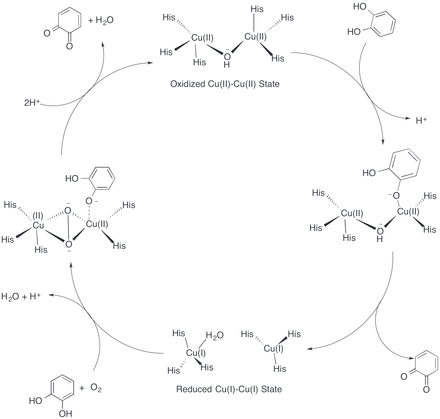 catechol to benzoquinone Enzymatic determination of catechol oxidase and  benzoquinone, catechol oxidase, carrot  in the reaction catechol is oxidised initially to the orange.