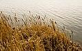 Cattails on Wild Rice Lake (2637918953).jpg