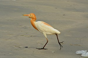 Cattle egret - From Thalassery Beach, Kerala, India