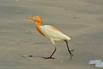 Cattle egret - From Thalassery Beach, Kerala, India
