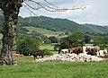 Cattle milling around - geograph.org.uk - 848705.jpg