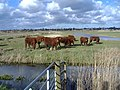 Cattle on Exminster Marshes - geograph.org.uk - 949685.jpg