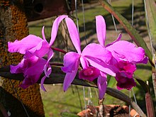 Cattleya lawrenceana.jpg