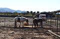 Cavalls per Jesús Pobre, Marina Alta.JPG