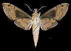 Cechenena helops helpos MHNT CUT 2010 0 225 Malaysia female ventral.jpg