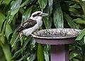 Cedar Creek Kookaburra waiting for food-1 (9001549138).jpg