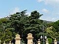 Cedres del Palau de Pedralbes P1260912.jpg