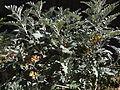 Centaurea ragusina Risan Bay of Kotor yard of the St. Michael.JPG