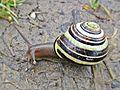 Cepaea nemoralis (Grove snail), Arnhem, the Netherlands.jpg