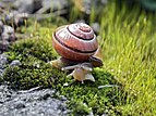 Cepaea nemoralis on moss edited.jpg