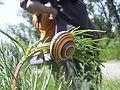 Cepea species Neusiedler See.jpg