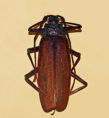 Macrotoma serripes