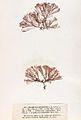 Ceramium echionotum Crouan.jpg