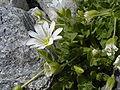 Cerastium latifolium neben Steinen.jpg