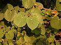 Cercis Siliquastrum leaves.JPG