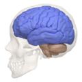 Cerebral hemisphere - 04.png