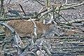 Cervo nobile (Cervus elaphus) - Red deer , Gerenzano, Italia, 09.2018 (15).jpg