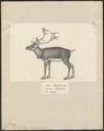 Cervus tarandus - 1809-1845 - Print - Iconographia Zoologica - Special Collections University of Amsterdam - UBA01 IZ21500090.tif