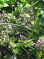 Chamaecytisus purpureus Lilac Lady (8866007499).jpg