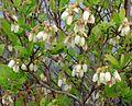 Chamaedaphne calyculata (1).jpg