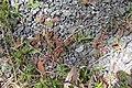 Chamaesyce maculata (L.) Small (AM AK347535-2).jpg
