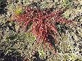 Chenopodium polyspermum sl8.jpg