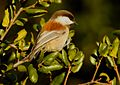 Chestnut-backed Chickadee 2.jpg