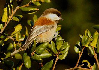 Chestnut-backed chickadee - Del Valle, CA