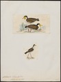 Chettusia lobata - 1700-1880 - Print - Iconographia Zoologica - Special Collections University of Amsterdam - UBA01 IZ17200133.tif