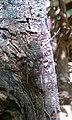 Chicharra en bosque el imposible - panoramio.jpg