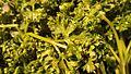 Chimichurri Sauce Recipe (13294643914).jpg